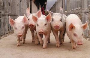 Свиноводство дома - основные правила