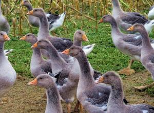 Процесс разведения серых гусей