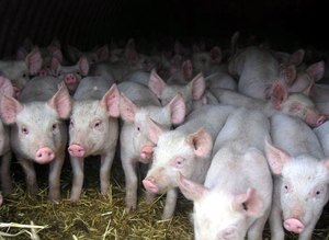 Как ухаживать за свиньей в частном хозяйстве