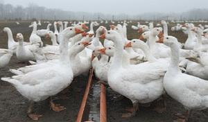 Как кормить гусей перед яйцекладкой
