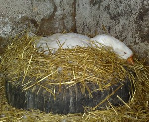 Яйцекладка у гусей в зимнее время