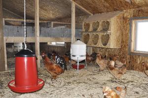 Обустройство птичника для кур-несушек