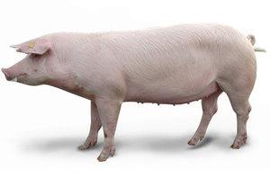 Свиньи Ландрас - особенности породы