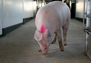 Выбираем мясные породы свиней - Ландрас