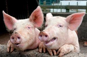 Корм для свиней и поросят