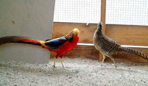 Внешний вид золотого фазана