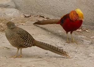 Как питается золотой фазан