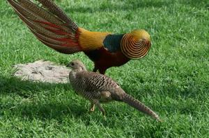 Где обитает золотой фазан