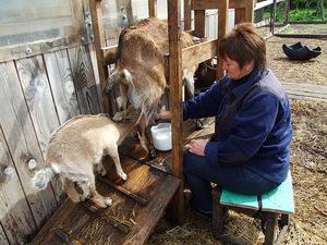 Как разводить коз