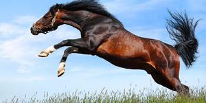 Першеронская порода лошадей