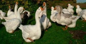 Выращивание гусей в домашних условиях начинающими фермерами: как содержать гусей, разведение мулардов