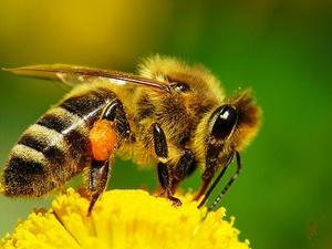Особенности разведения медоносных пчел