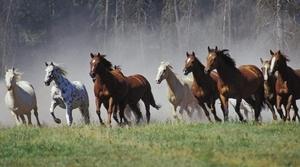 Табун диких лошадей в природе
