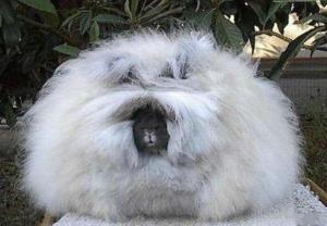 Английский ангорский кролик - самый пушистый вид