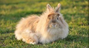 Ангорский кролик - дружелюбный и общительный домашний питомец