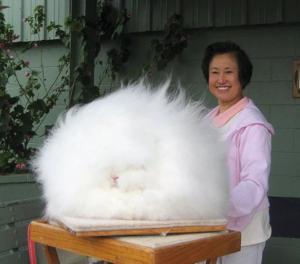 Ангорскую породу кроликов важно регулярно вычесывать и стричь