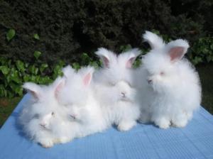 Ангорский кролик известен давно и сегодня не теряет популярности
