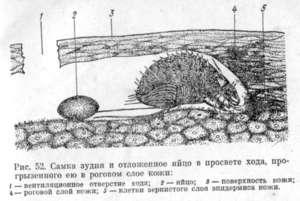 Какие паразиты вызывают свиной саркоптоз