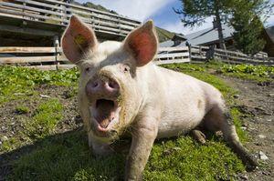 Почему возникает свиное бешенство и как оно проявляется