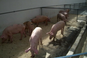 Каким должен быть свинарник
