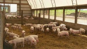 Внутренее обустройство свиной фермы