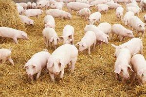 Содержание и уход за свиньями