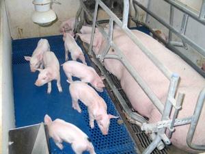 Уход за свиньями и поросятами