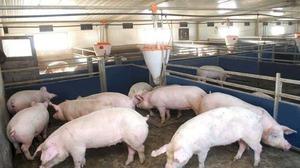 Как вырастить свиней на мясо