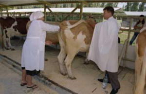 Как проводится осеменение коров