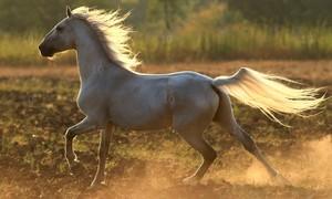 Орловский рысак - качества породы лошадей