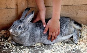 Забой кроликов - полезные советы