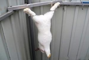 Как забивают кроликов на мясо в домашних условиях