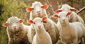 В чем особенность овцеводства