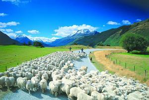 Как разводят овец