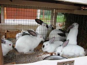 Для здоровья кроликов необходимо ежедневно убираться в их клетках