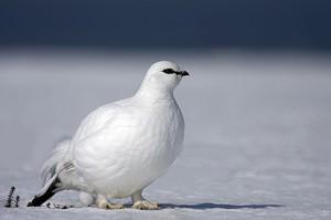 Белая куропатка - отличительные особенности