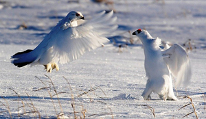 Куропатки таежные белые - как они живут