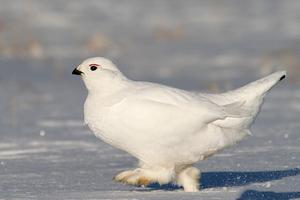 Внешний вид белой куропатки и смена цвета по сезону