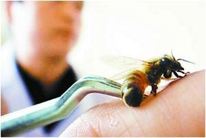 Как проводится лечение укусами пчел