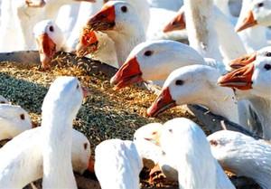 Особенности разведения гусей