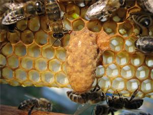 Эффективные способы вывода пчелиных маток