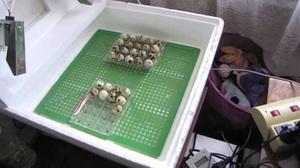Инструкции для изготовления инкубаторов для перепелиных яиц своими руками