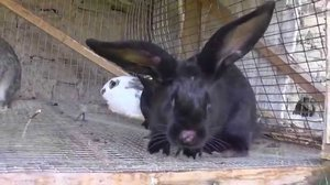 Как вывести клещей у кроликов