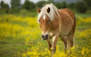 Лошади иноходцы в России