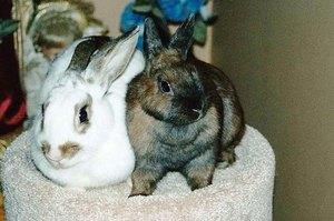 Определение пола кролика по поведенческим повадкам