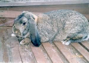 Характеристика кролика баран