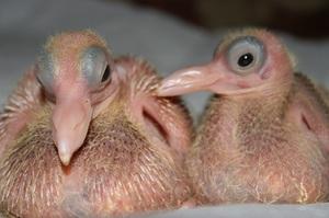 Маленький птенец голубя