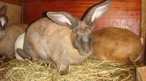 Cколько времени длится беременность у кроликов