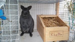 Сроки беременности у кроликов