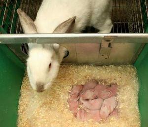 Как кролики рожают крольчат